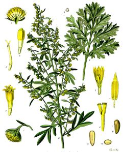 Artemisia_absinthium_-_Köhler–s_Medizinal-Pflanzen-164