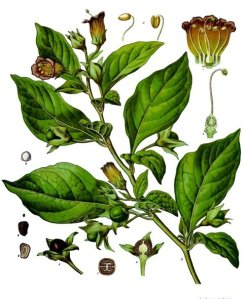 Atropa Belladonna, from Köhler's Medizinal Pflanzen.