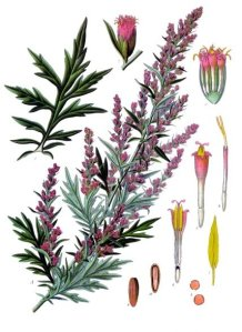 Artemisia Vulgaris (Mugwort). Image from Köhler's Medizinal Pflanzen